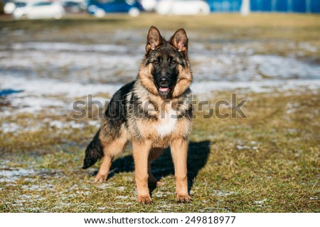 Beautiful Young Brown German Shepherd Puppy Dog Staying Outdoor In Spring