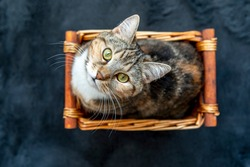 Beautiful young cat is sitting in a basket and looking directly at the camera.