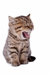 Beautiful young cat with an open mouth on white background