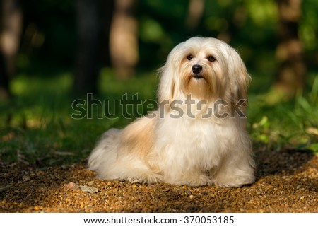 Beautiful young cream havanese dog is sitting on a sunny forest path in late summer #370053185
