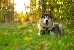 Beautiful young dog of breed Alaskan Malamute in the rays of the sun on a background of greenery and grass
