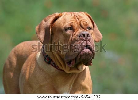 Beautiful young Dogue de Bordeaux portrait