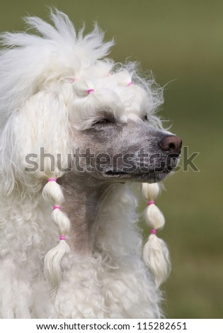 Beautiful young female poodle portrait