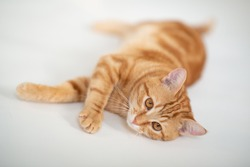 Beautiful young ginger cat looking at camera, well-fed and satisfied. Adorable orange pet. Cute red kitten with classic marble pattern lies isolated on white background.