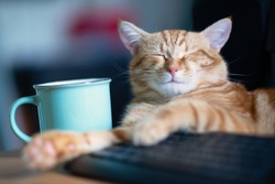 Beautiful young ginger cat well-fed and satisfied sleeps at home working place near keypad and cup of tea. Cute red kitten with classic marble pattern lies on table. Stay home, work home, quarantine