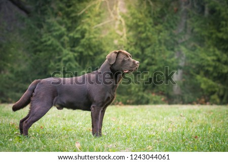 Beautiful young labrador retriever dog posing in autumn leaves. #1243044061