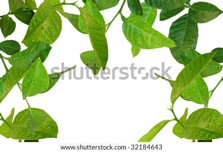 beautiful young lemon tree with water drops background
