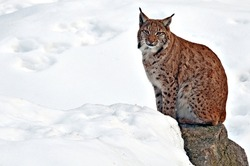 Beautiful young lynx at winter waiting for food