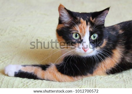 Beautiful young multi-colored house cat on the bed. Close-up. #1012700572