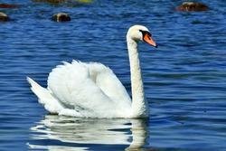Beautiful young mute Swan, lat. Cygnus olor