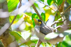Beautiful young Noisy Miner bird on the green leaves tree in a sunshine day at Sydney, Australia.