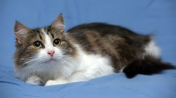 beautiful young norwegian forest brown with white cat on a blue background
