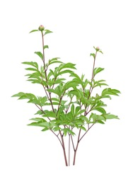 beautiful young peony tree isolated on white background