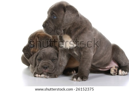 Italian+mastiff+puppies+for+sale