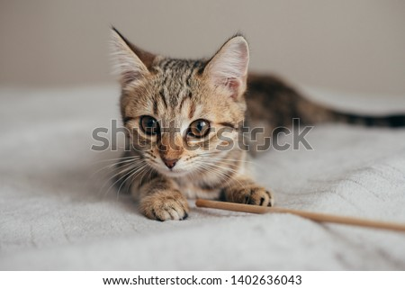 beautiful young purebred striped tabby red brown cat lies with open big eyes holding his toy paw stick close photo  #1402636043