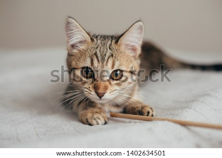 beautiful young purebred striped tabby red brown cat lies with open big eyes looking at the camera holding his toy paw stick close photo clearly visible mustache big yellow eyes ears #1402634501