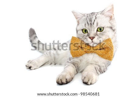 beautiful young silver tabby Scottish cat kitten with bow tie on white background posing and looking at camera
