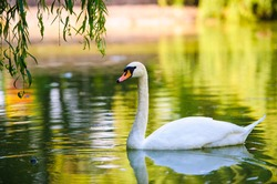 Beautiful young swans in lake