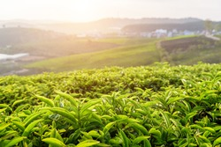 Beautiful young upper fresh bright green tea leaves at tea plantation at sunset. Amazing rural landscape.