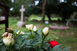 Beautiful young white roses in church garden. Space to add text on blurry old white roses, red rose, cemetery green grass, cross headstone & trees in background. Christianity memorial flower concept.