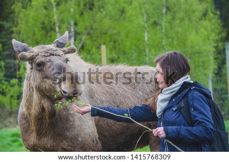 Beautiful young Woman trying to feed a cute wild Moose elk with growing horn in an elk farm during the elk farm visit in northern Sweden in a sunny day with background