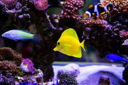 Beautiful zebrasoma salt water aquarium fish