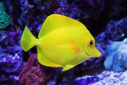 Beautiful zebrasoma salt water aquarium fish