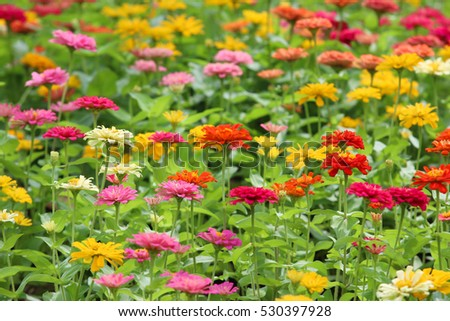 Beautiful Zinnia flowers blooming in garden.