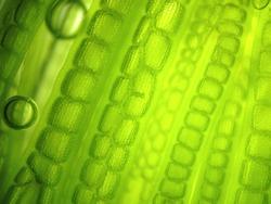 Beautiful zoom microorganism algae cell