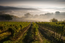 Beautifull autumn vineyards in foggy morning, Italy