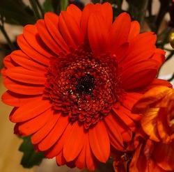 Beautifull big gerbera flower in an explotion of color!