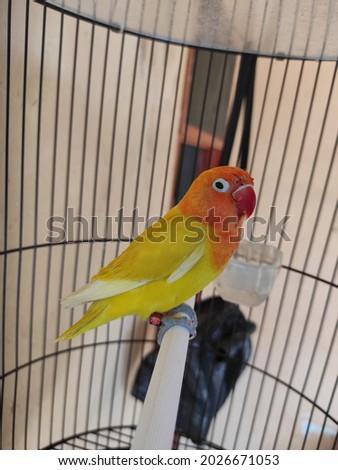 Beautifull colour of Lovebird Pastel Opaline Foto stock ©
