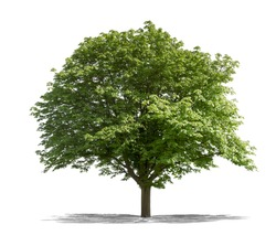 Beautifull green tree on a white background in high definition