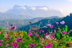 Beautifull pink flower on Doi Luang Chiengdow mountain background at San Pa Kiea viewpoint, Chiengmai, Thailand.
