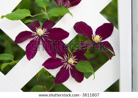 Beautifull purple clematis flowers climb on gazebo lattice in the middle of garden