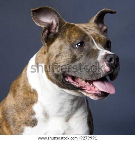 beautifull young american staffordshire terrier