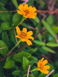 Beautifully blooming yellow flowers with fresh green leaves in the afternoon