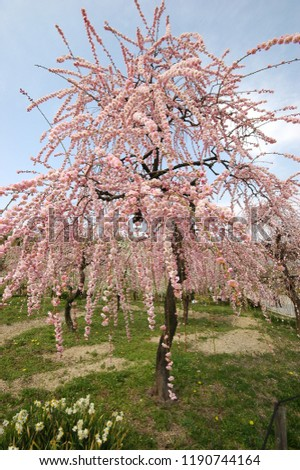 Beautifully blossoming reddish plum blossom in the park