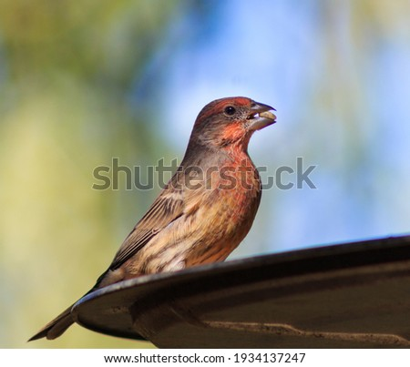 Beautifully colored male house finch at the bird feeder with a seed in its beak. Stockfoto ©