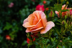 Beautifully flowered orange roses in park greenery with rain drops on flowers.