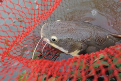 Beautifully pattern catfish caught in the red net It big and strong