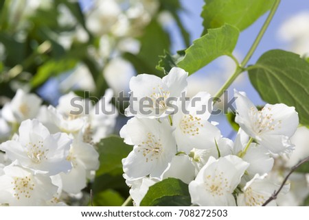 Beautifully smelling flowers of white blossoming jasmine in the beautifully smelling flowers of white blossoming jasmine in the spring season photo close up mightylinksfo