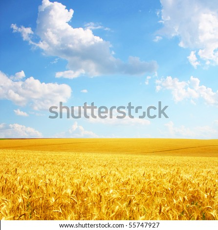 Landscape (wheat field)