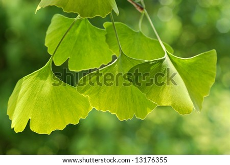 Beautifully sunlit ginkgo leaves with shallow dof.