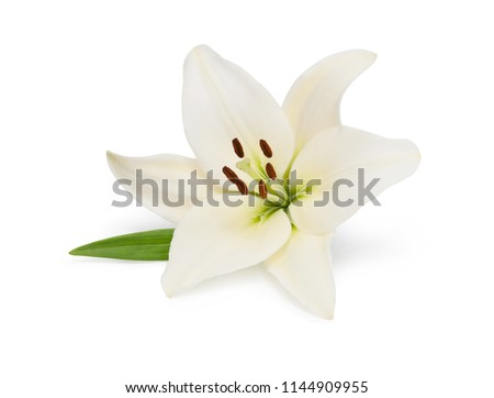 beautifult lily flower isolated ...