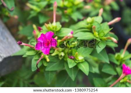 Beautify pink mirabilis jalapa in summer garden with blur background #1380975254