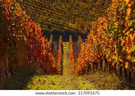 Beautiiful vineyard landscape during sunset in Piemonte, Italy
