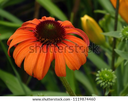 Beautiully blooming cut-leaved rudbeckia fulgida flower on a sunny day in the city garden of Pfaffenhofen, Germany