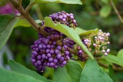 Beauty Berry, a beautiful and nutritious purple fruit,Callicarpa americana L.