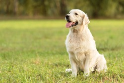 Beauty Golden retriever dog in the park